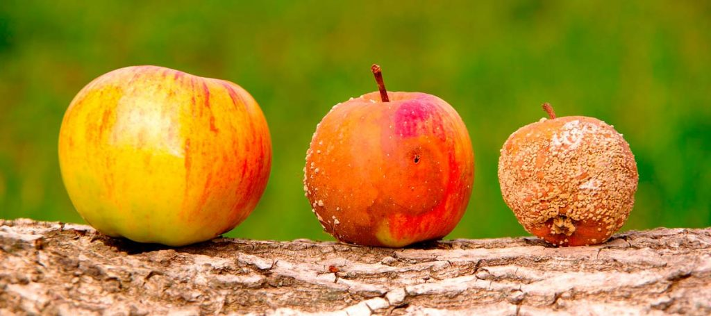 Different states of rot of an apple